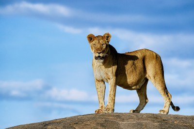 Lion, Löwe, Queen, Benny Rebel, Fine Art Print, Afrika, Fotografie