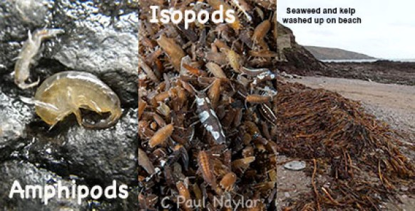 Isopod feeding frenzy, Devon 4