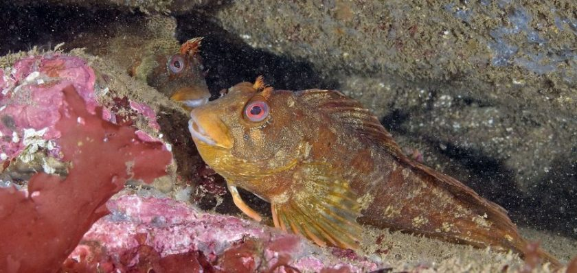 Tompot pair in crevice, S Devon 1
