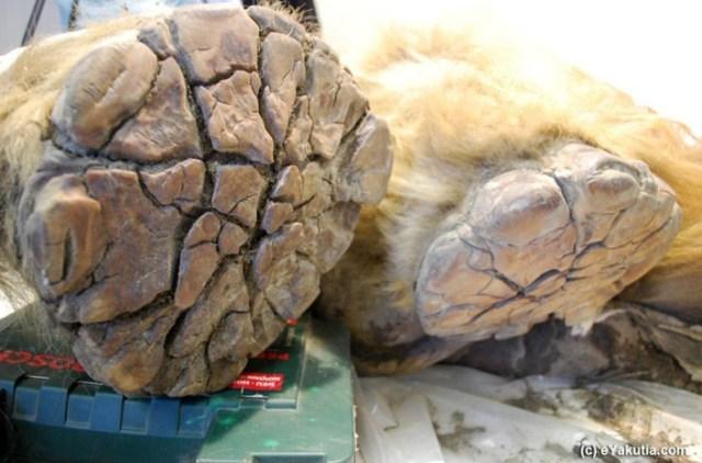 mamut-kalintilari