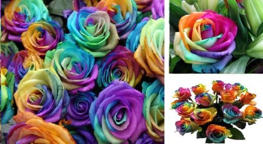rainbor roses1