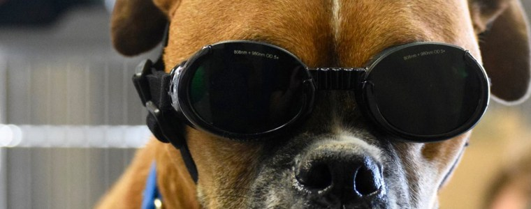 puppy getting laser therapy