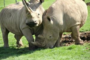 Animal viagra: Rumbull and Rumba