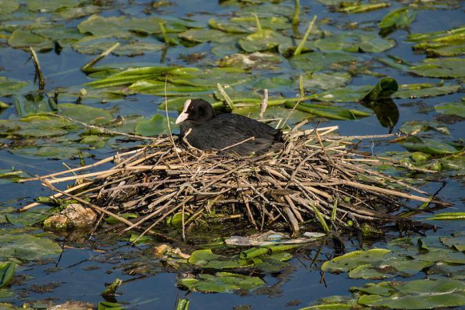 Nesting Eurasian Coot. Photo by SkywalkerPL
