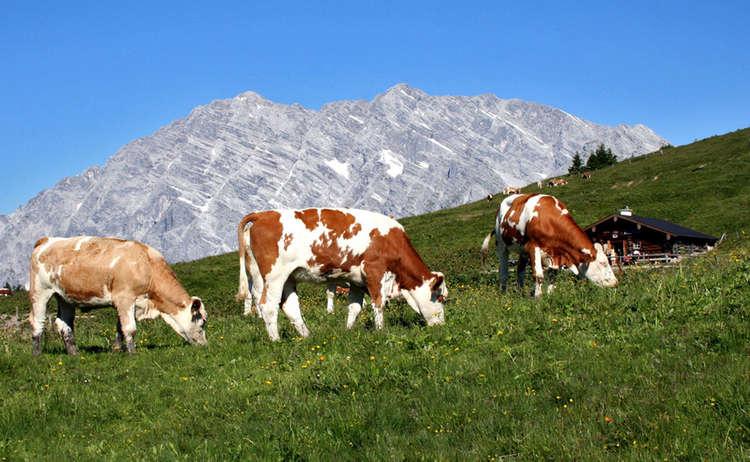 Das richtige Verhalten mit Kühen auf der Alm