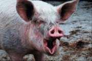 У зв'язку з повторним спалахом інфекції, фахівці розповіли жителям міста Бердичева про Африканську чуму свиней