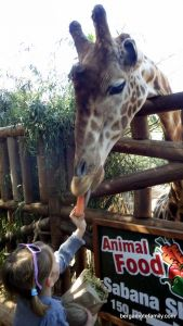 canaries - bergamote family - oasis park - girafe