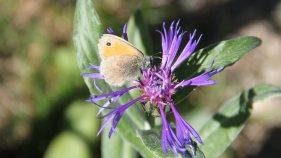 Herbst, Blumen, Schmetterlinge in der Valmaira