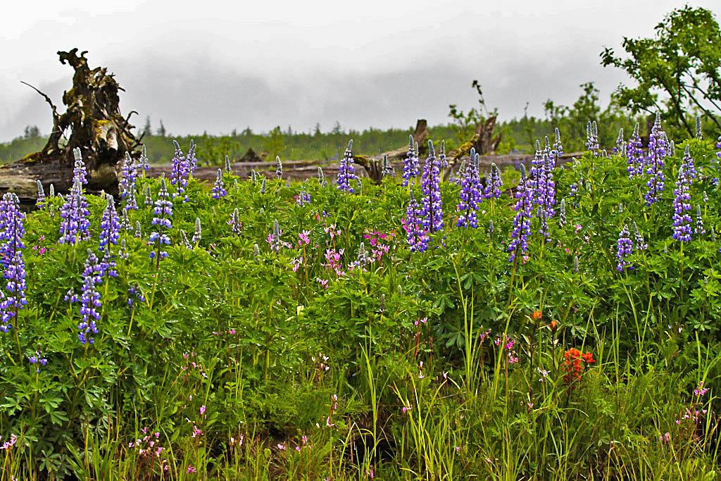 Stikine Wildflowers