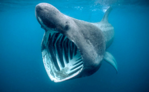 B8C7NX BASKING SHARK