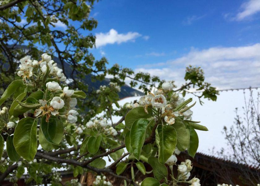 So weiß wie Schnee... Kirschblüten im Eisacktal.