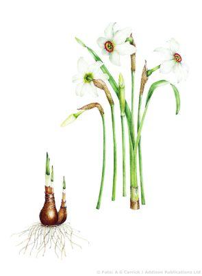 Narcissus poeticus