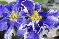 """RS-Zhar Ptichka ist eine russische Sorte. Der Name bedeutet """"Feuervogel"""". Eine mittelgroße Sorte in kräftigem Blau mit einer kräftig gelben Schattierung der Blütenblätter"""