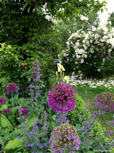 Allium und Rose Nevada