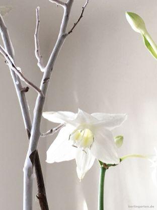 Amazonaslilie oder Herzkelch