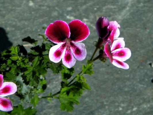 """'Angels Perfume' ist eine moderne Sorte von PAC Elsner aus Dresden. Engels-Pelargonien sind Kreuzungen aus Pelargonium crispum und großblumigen """"Edelpelargonien"""". Dies ist ein besonders gelungenes Beispiel für die robusten. blühwilligen und überdies duftenden Pelargonien"""