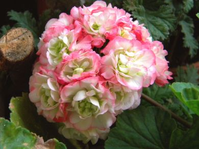 Eine zauberhafte rosenblütige Pelargonie: 'Apple Blossum Rosebud' zeigt harmonisch runde Blüten in weiß-rosa. Sie wirkt herrlich nostalgisch
