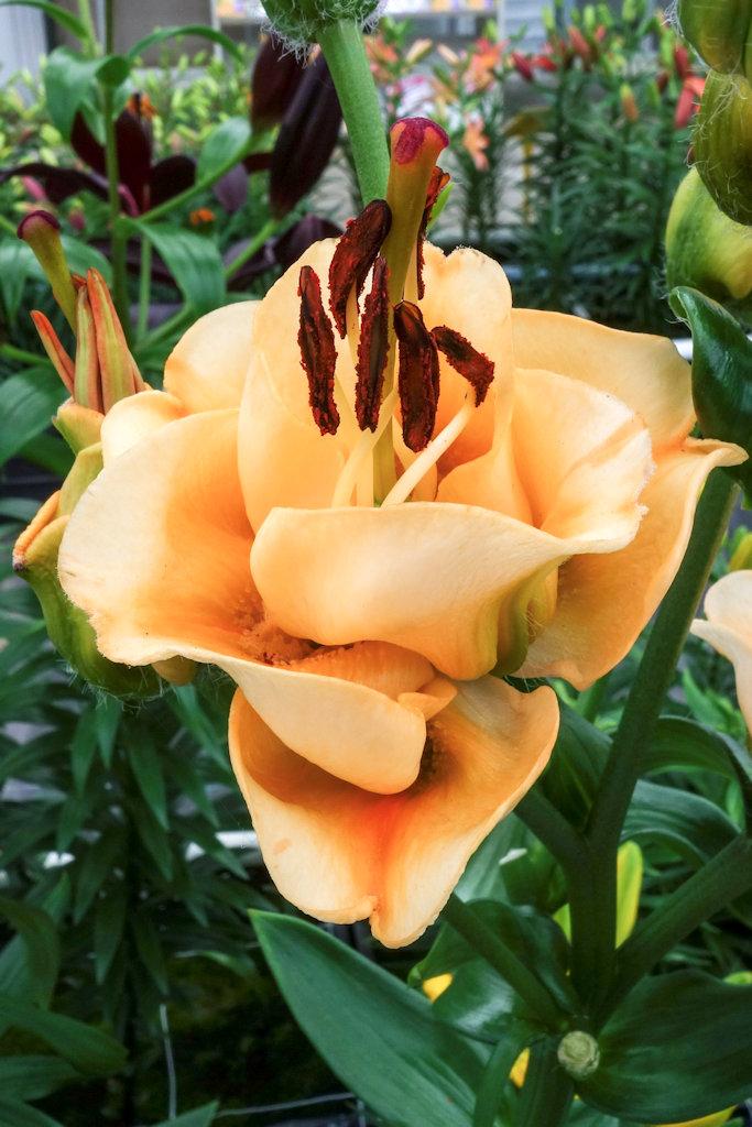 Die Neuzüchtung 'Apricot Fudge' erinnert vom Aufbau der Blüte und den gerundeten Blütenblättern an Rosen