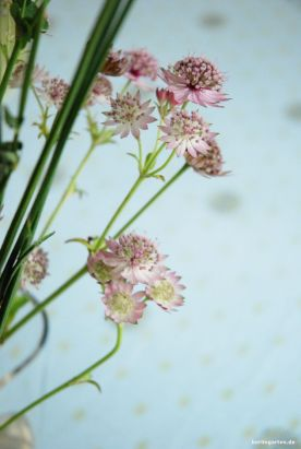 Sterndolde Astrantia major Rosea