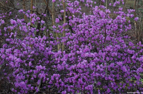 Ussuri-Alpenrose Rhododendron sichotense