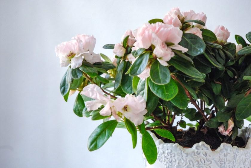 Azaleen sind zauberhaft zarte Zimmerpflanzen und verkürzen den Spätwinter