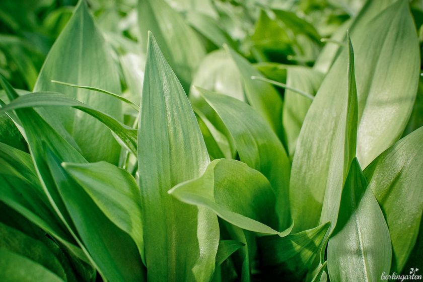Der echte Bärlauch, der immer seltener wird, den es aber auch auf dem Wochenmarkt zu kaufen gibt (Allium ursinum)