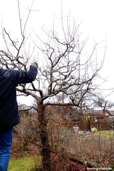 Baumschnitt Apfelbaum