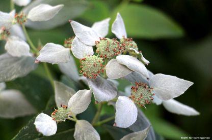 Dürfen so bleiben - Oudolf schätzt auch verblühte Blütenständen hier: Pycnanthemum muticum ODER Pycnanthemum muticum, die herrlich nach Menthol duftet
