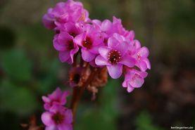 Bergenienblüte