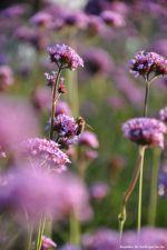Biene labt sich an Verbene
