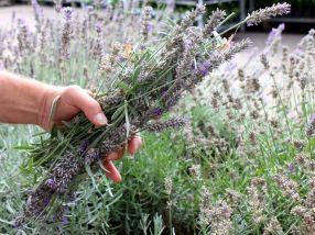 Blütenstiele Lavendel