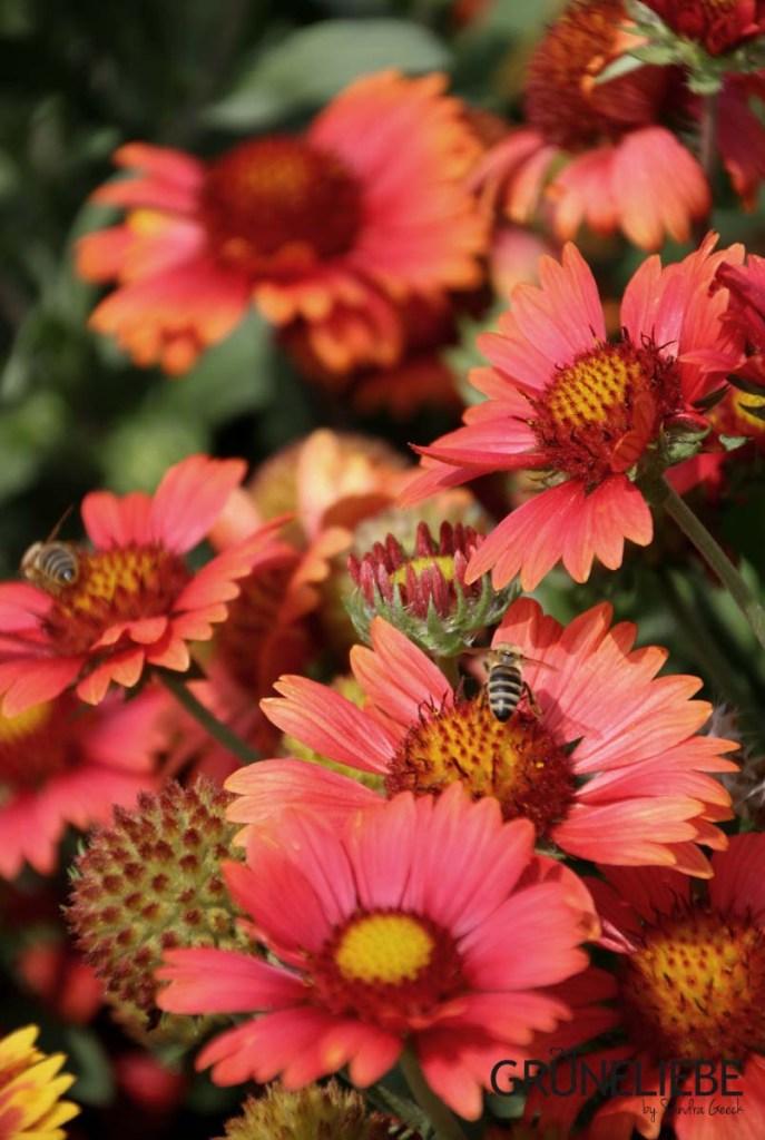 Bunte Blüten locken Insekten in den Grüneliebe-Garten