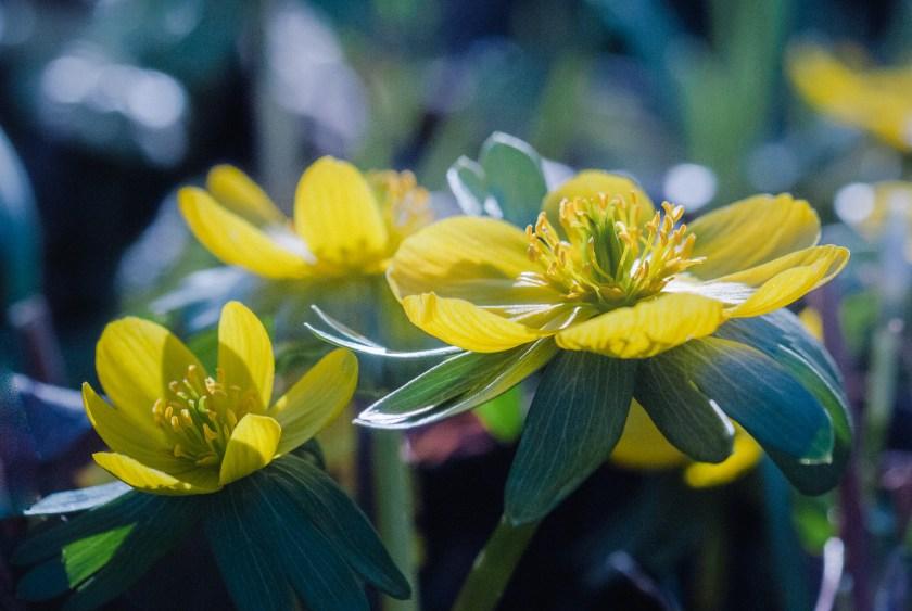 Blumenzwiebeln Winterlinge