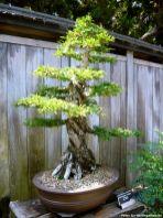 Ein Beispiel für die Exponate im Bonsai Garten