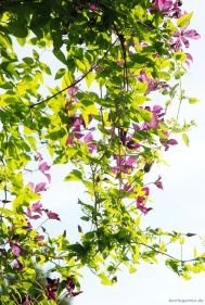 Waldrebe Clematis viticella