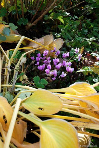 Die Funkie vergeht langsam, sie kommen: Cyclamen hederifolium rosa