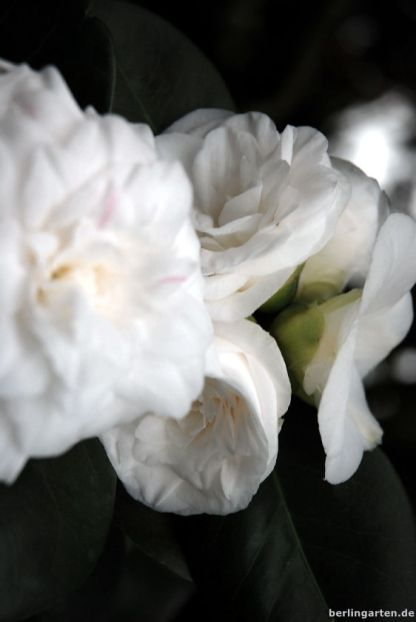 Kamelie Camellia japonica Alba Plena