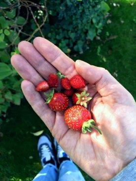 Meine dauertragenden Erdbeeren werden ihrem Namen voll gerecht