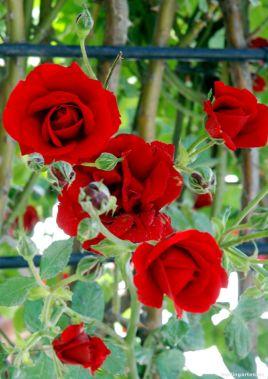 Die roten Rosen von Schönbrunn