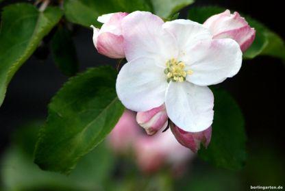 Im Baumblütenreigen die letzten: dralle Apfelblüten