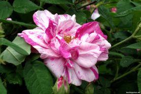 Einzelblüte Rosa Mundi