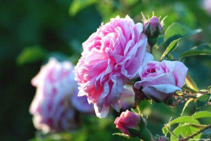 Einzelblüte Königin von Dänemark