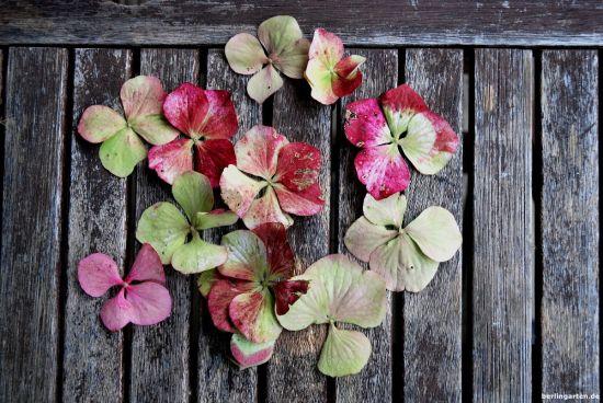 Einzelne Hortensienblüten