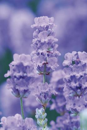Englischer Lavendel blau