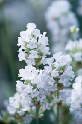 Englischer Lavendel weiß