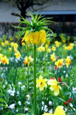 Ein wunderschöner Klassiker: Fritillaria Lutea maxima