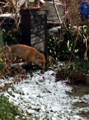 Fuchs kommt