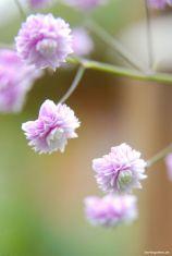 Gefüllte rosa Wiesenraute