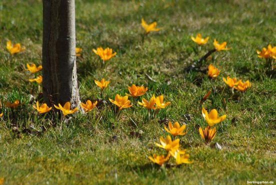 Gelbe Krokusse Crocus chrysanthus