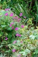 Geranium Alchemilla